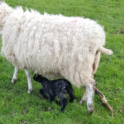 Lambing Time at Woodhouse Farm